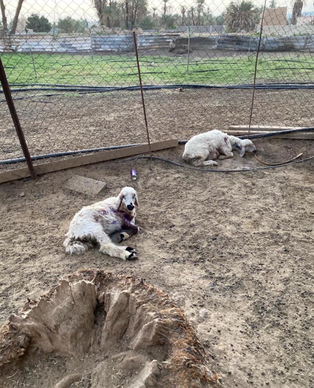 كلاب ضالة تهاجم قطيع أغنام بنجران